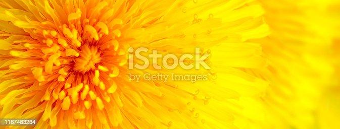 istock Beautiful Yellow Dandelion Close Up Macro image 1167483234