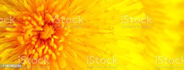 Beautiful yellow dandelion close up macro image picture id1167483234?b=1&k=6&m=1167483234&s=612x612&h=iysi bprx4y kzzxcdbmckcfjnbglmlq2lzxxk2x57s=