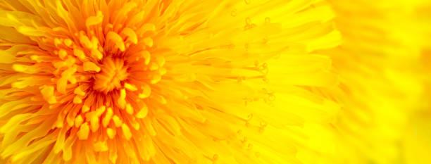 Beautiful yellow dandelion close up macro image picture id1167483234?b=1&k=6&m=1167483234&s=612x612&w=0&h=on9hzi4drr5j ki g05xjjng3uje8n0eilhazqvwnxe=