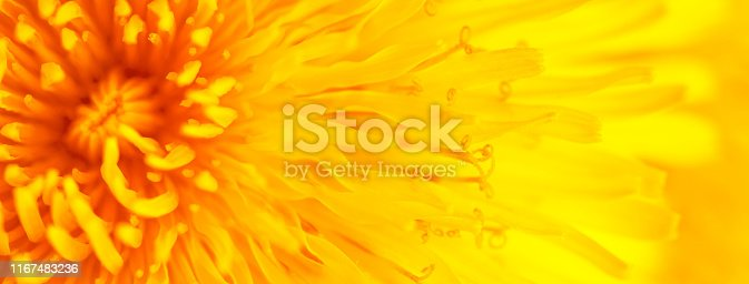 istock Beautiful Yellow Dandelion Close Up Macro image 1167483236