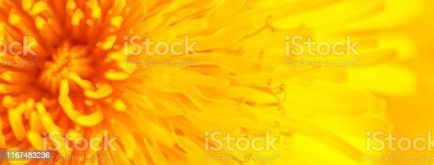 Beautiful yellow dandelion close up macro image picture id1167483236?b=1&k=6&m=1167483236&s=612x612&h=itwahpm9pr1lcjo06awnumwodjbhigcq5gftfq ksr4=