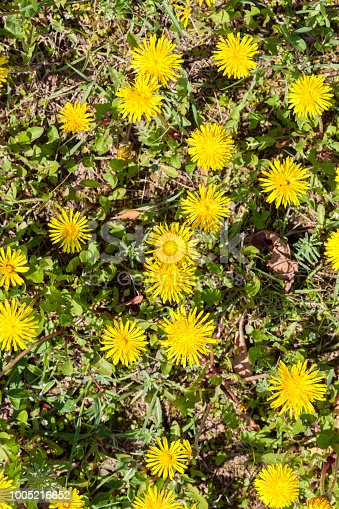 istock beautiful yellow dandelion 1005216652