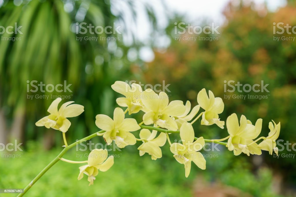 Beautiful yellow Dendrobium Orchids in the garden stock photo