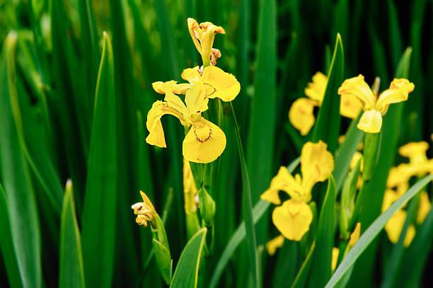 Beautiful yellow flag irises Iris pseudoacorous in spring stock photo