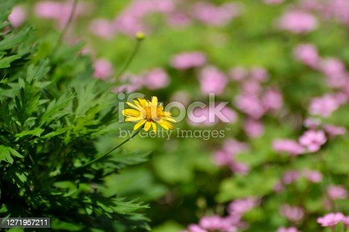 Beautiful yellow flower chrysanthemum