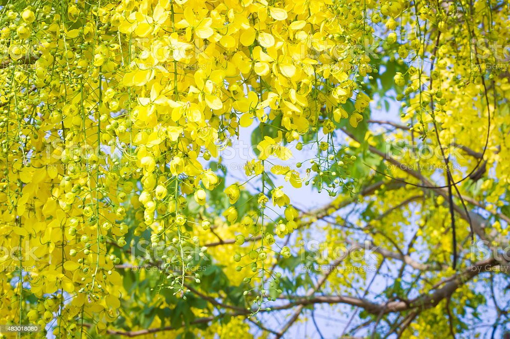 Beautiful yellow flower Golden shower (Cassia fistula) on tree stock photo