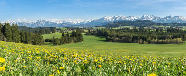 schöne gelbe blumenwiese in einer idyllischen berglandschaft. - allgäu stock-fotos und bilder