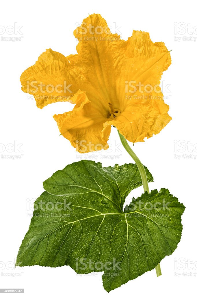 Beautiful yellow flower of pumpkin, isolated on white background stock photo