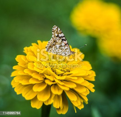 large butterflies feeds and pollinates beautiful yellow flower in the green meadow