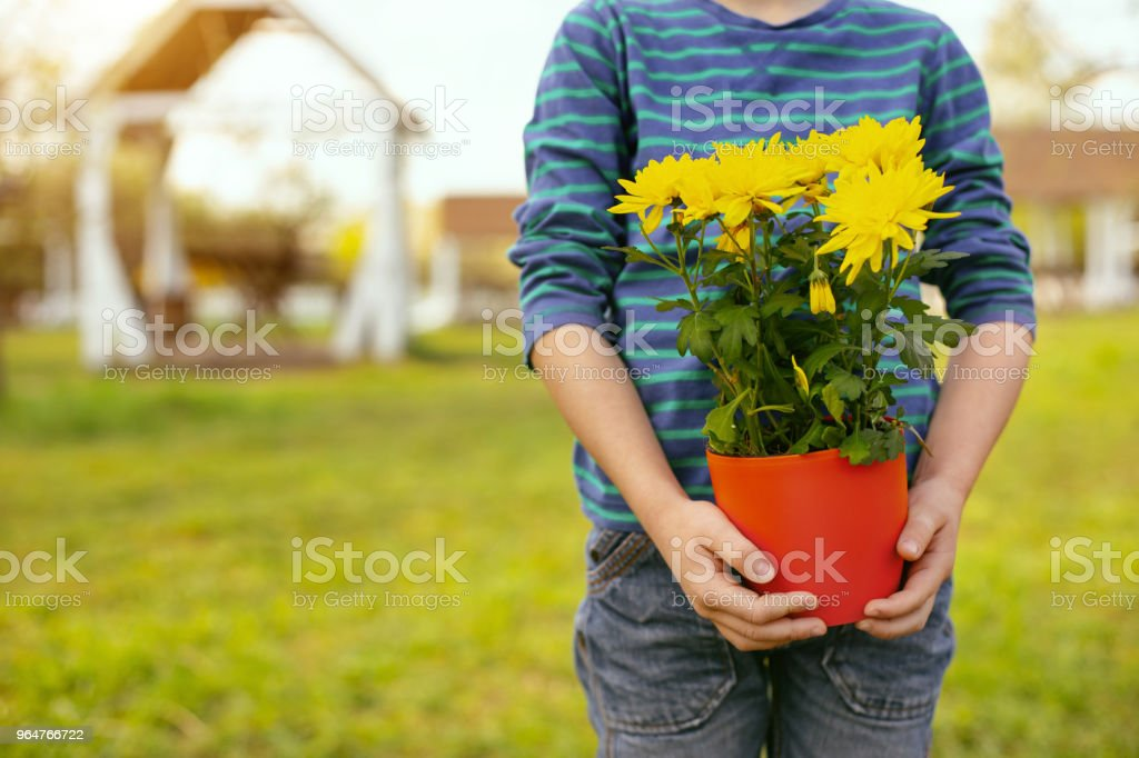 Beautiful yellow flowers being in hands of a boy royalty-free stock photo
