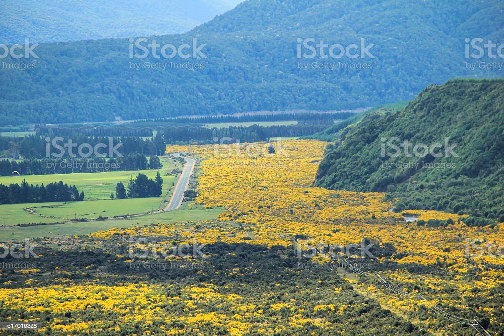 Beautiful yellow flowers blooming in Mount Aspiring National Park, Southern stock photo