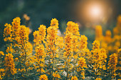 Beautiful yellow flowers in the sunlight, retro and vintage style. Summer warm sunset. Bright art image. Flower loosestrife. Selective focus