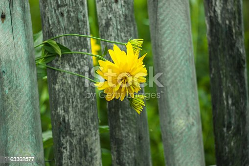 Beautiful yellow flowers grow near the old wooden fence, nature background. Rudbeckia laciniata, commonly called cutleaf coneflower or golden ball, is a species of flowering plant in the aster family.