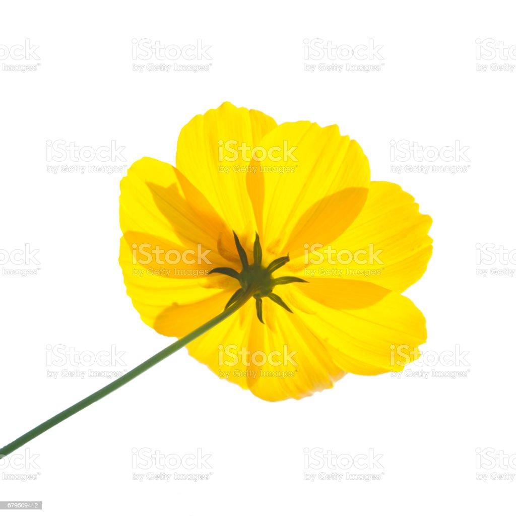 beautiful yellow flowers on white background. royalty-free stock photo