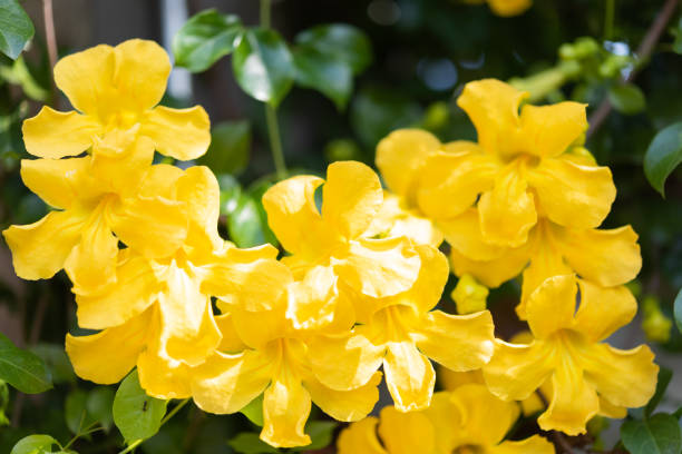 Beautiful yellow flowers with green leaves Beautiful yellow flowers with green leaves   background ,Cat's Claw, Catclaw Vine, Cat's Claw Creeper plants claw stock pictures, royalty-free photos & images