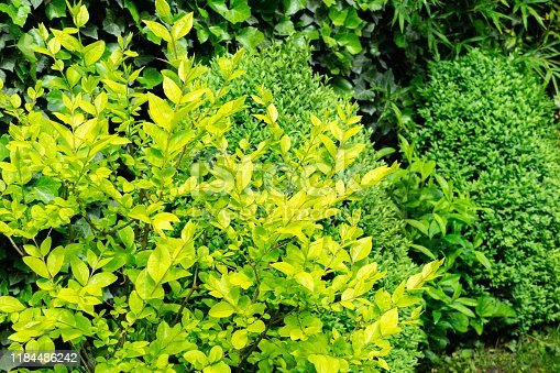 Beautiful yellow foliage on Ligustrum Vicaryi  bush with evergreen plants in ornamental garden. Selective focus. Nature concept for design