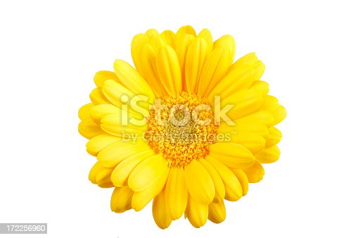 Beautiful yellow gerber isolated on white
