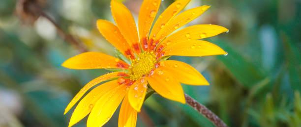 Schöne gelbe Gerbera mit Tau-Tropfen. – Foto
