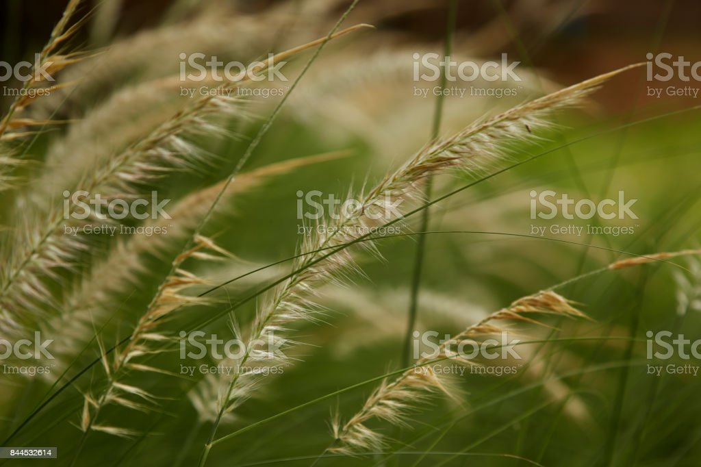 Beautiful Yellow Grass Weed captured with shallow depth of field stock photo