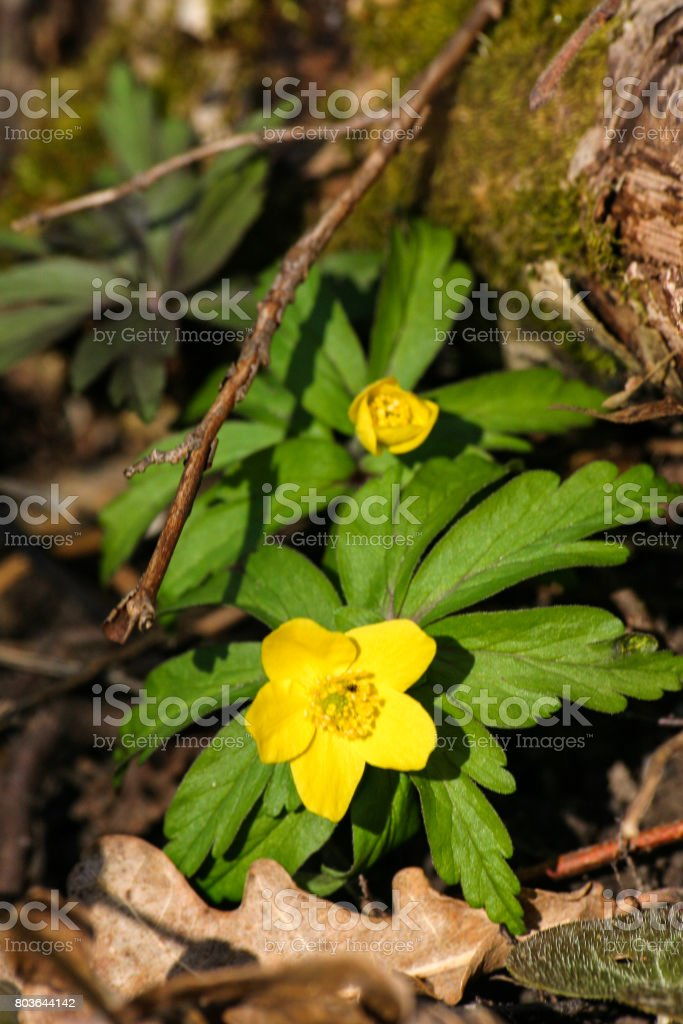 Beautiful yellow hepaticas on a natural background in spring stock photo