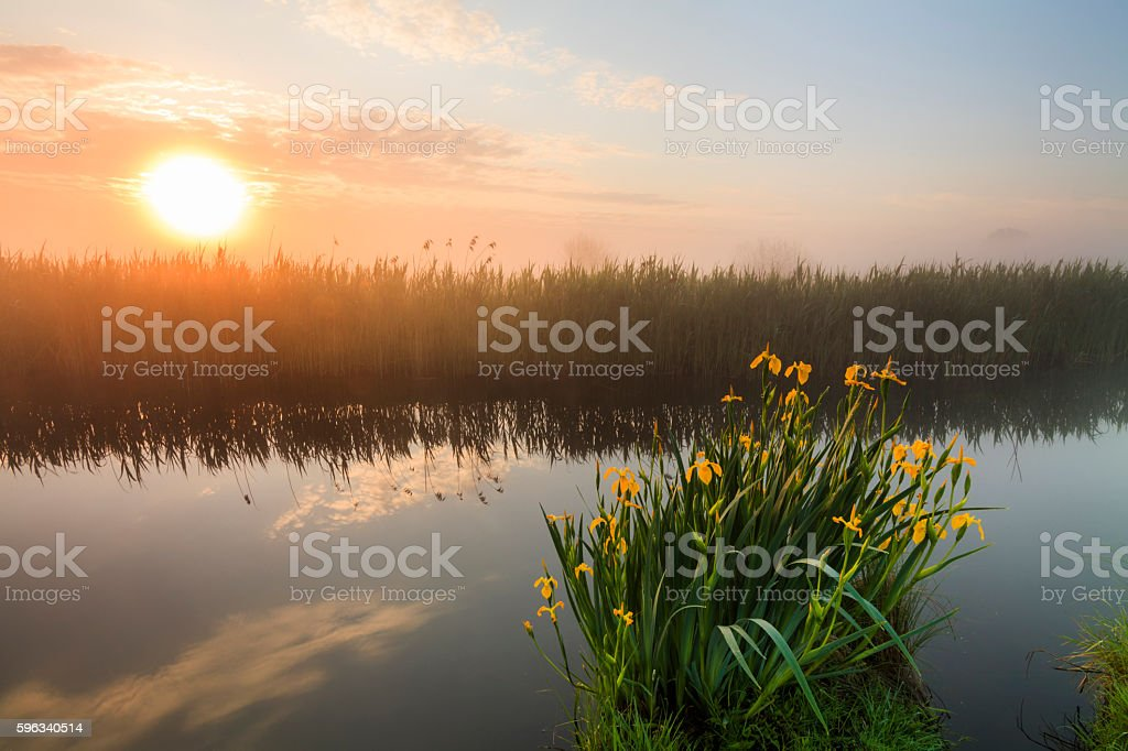 Beautiful yellow iris flowers royalty-free stock photo