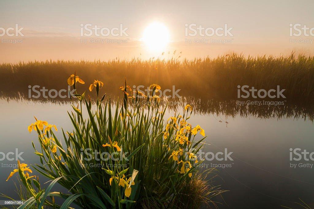 Beautiful yellow iris flowers royalty-free stock photo