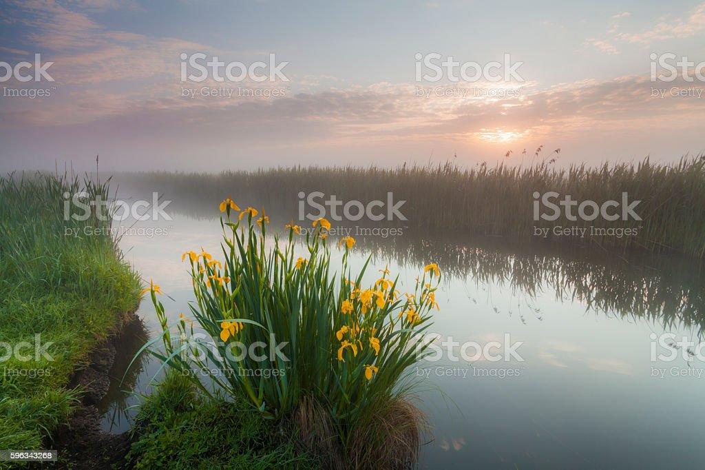 Beautiful yellow iris flowers Lizenzfreies stock-foto