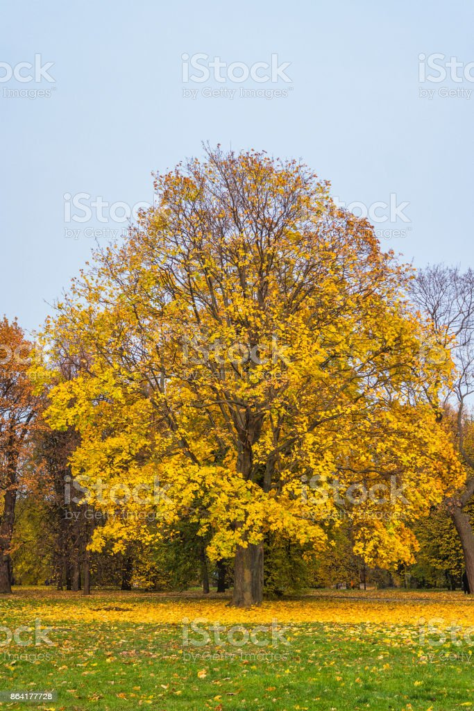 Beautiful yellow leaves on a maple tree furring the fall time royalty-free stock photo