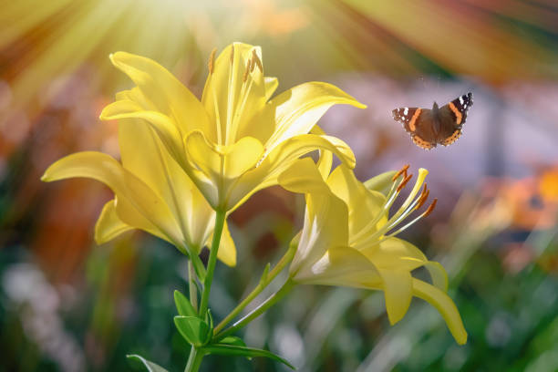 Beautiful yellow lily flower spring summer and flying butterfly on a picture id1008379932?b=1&k=6&m=1008379932&s=612x612&w=0&h=qnqy8c5roj3jf3pfi0bslzylz2cpzub4m4nxftalane=