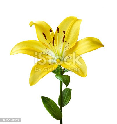 Beautiful yellow lily on a white background. Isolated on white background a lily flower with a stem and leaves.