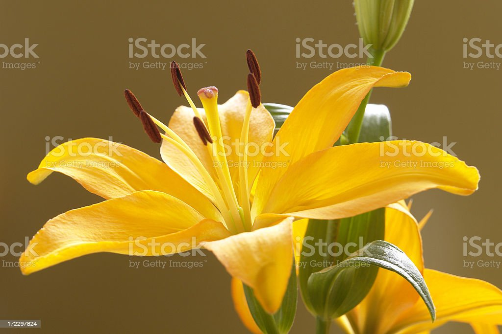 Beautiful yellow lily royalty-free stock photo