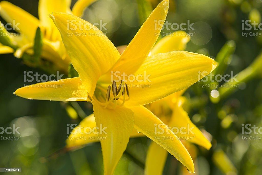 Beautiful Yellow Lily royalty-free stock photo
