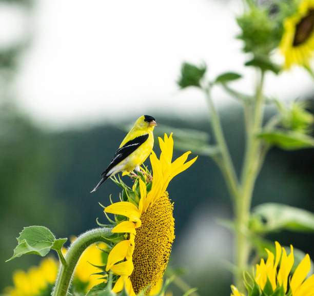 Beautiful yellow male American Goldfinch on sunflower Bright yellow goldfinch sits on sunflower in a sunflower field on a summer day. gold finch stock pictures, royalty-free photos & images