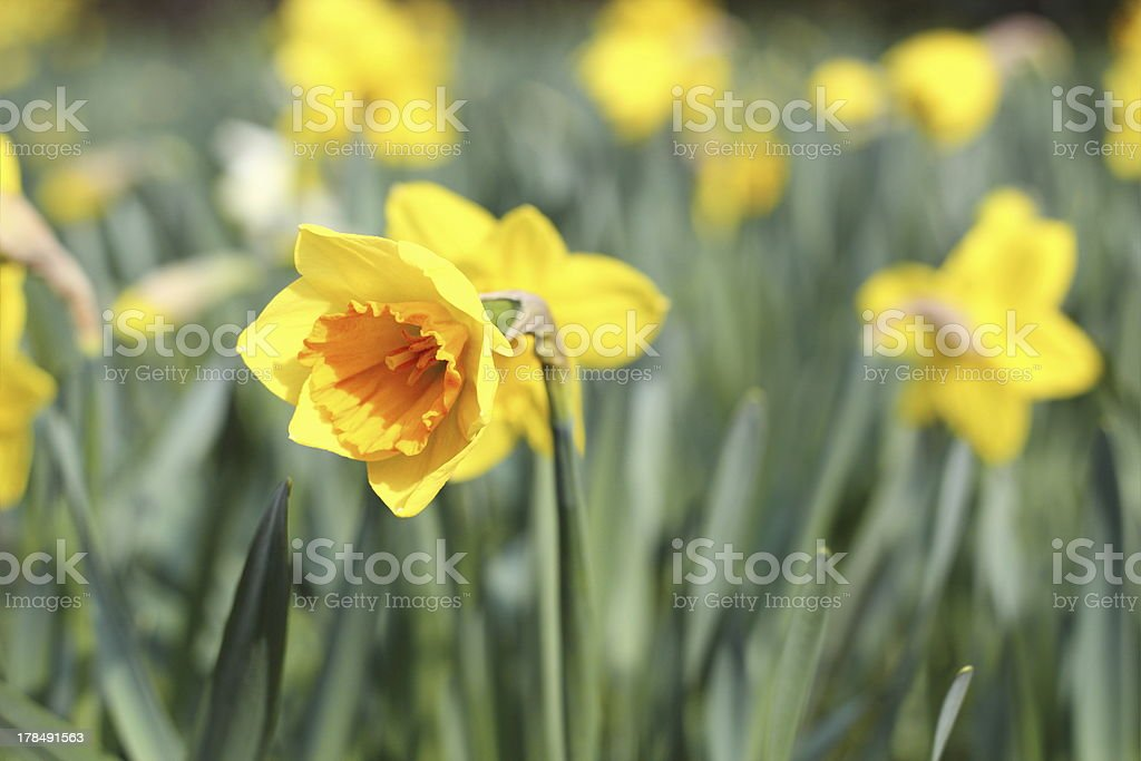 beautiful yellow narcissus royalty-free stock photo