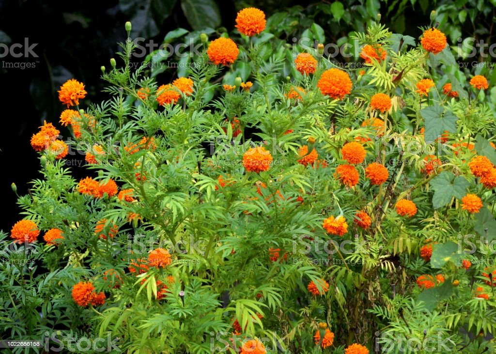 Beautiful Yellow Orange Color French Marigold Tagetes Patula Flower