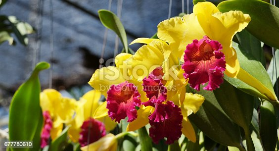 Beautiful yellow orchid flower with natural background,Cattleya Queen of orchids in Thailand