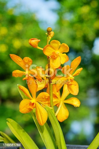 Close-up Bunch of luxury yellow orchids in garden.