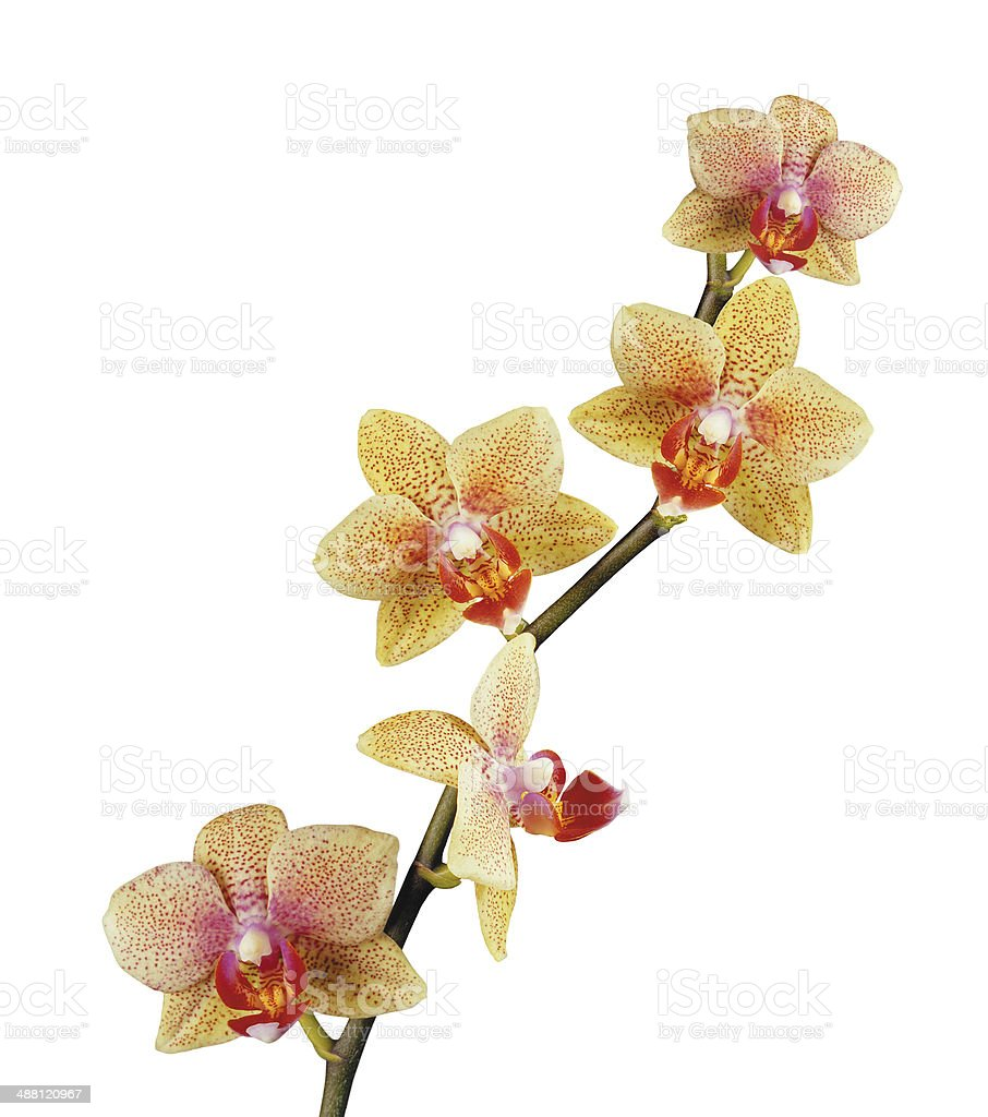 beautiful yellow orchid isolated on white background royalty-free stock photo