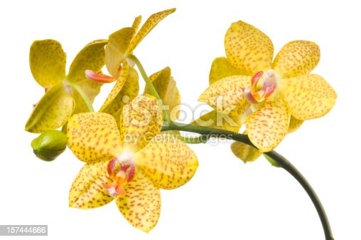 Bunch of Yellow orchid flowers with pink spots isolated on white background.