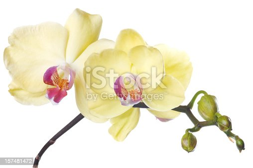 Bunch of luxury Yellow orchids isolated on white background. Studio shot.