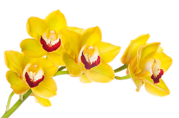 Beautiful yellow orchid on white background stock photo