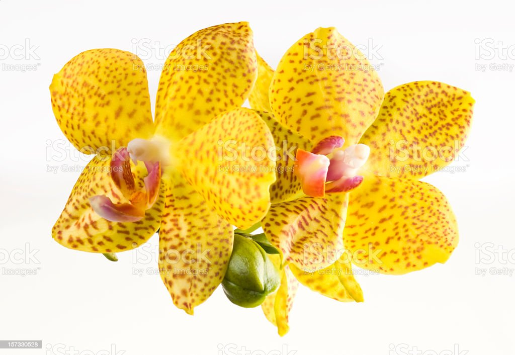 Beautiful yellow orchid on white royalty-free stock photo