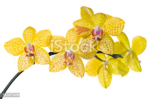 Bunch of luxury Yellow orchid flowers on stem isolated on white background. Studio shot.