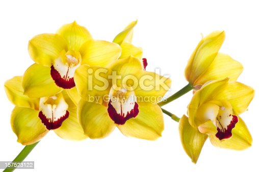 Luxury fresh bunch of Yellow orchid flowers isolated on white background