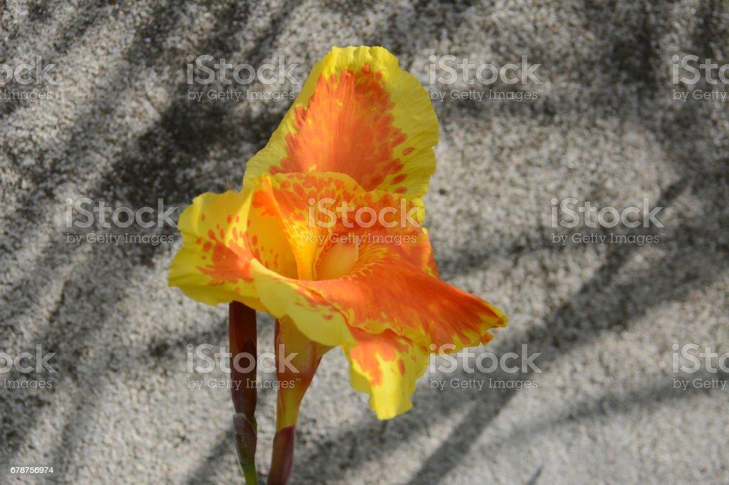 Magnifique palmier jaune photo libre de droits