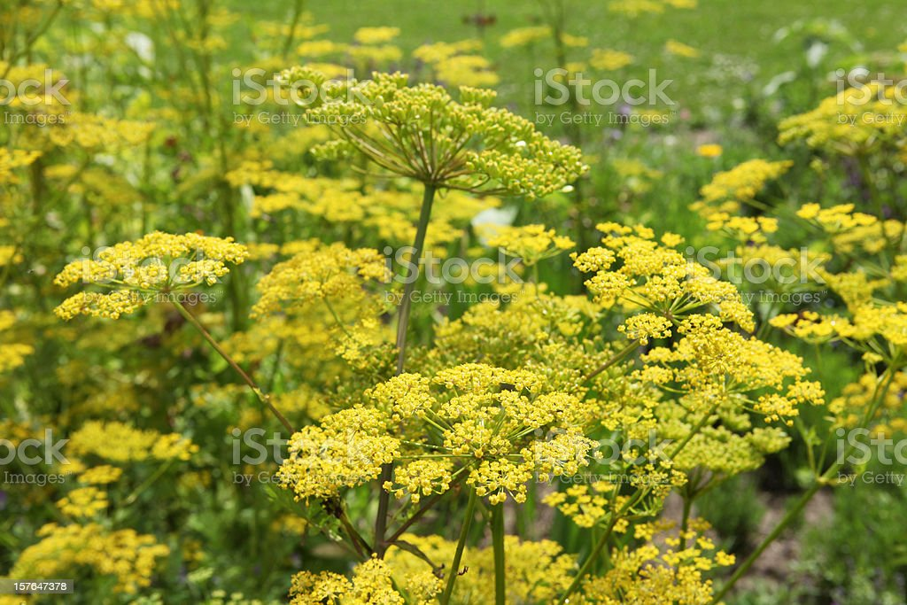Beautiful yellow parsnip flowers - organic cultivated. stock photo