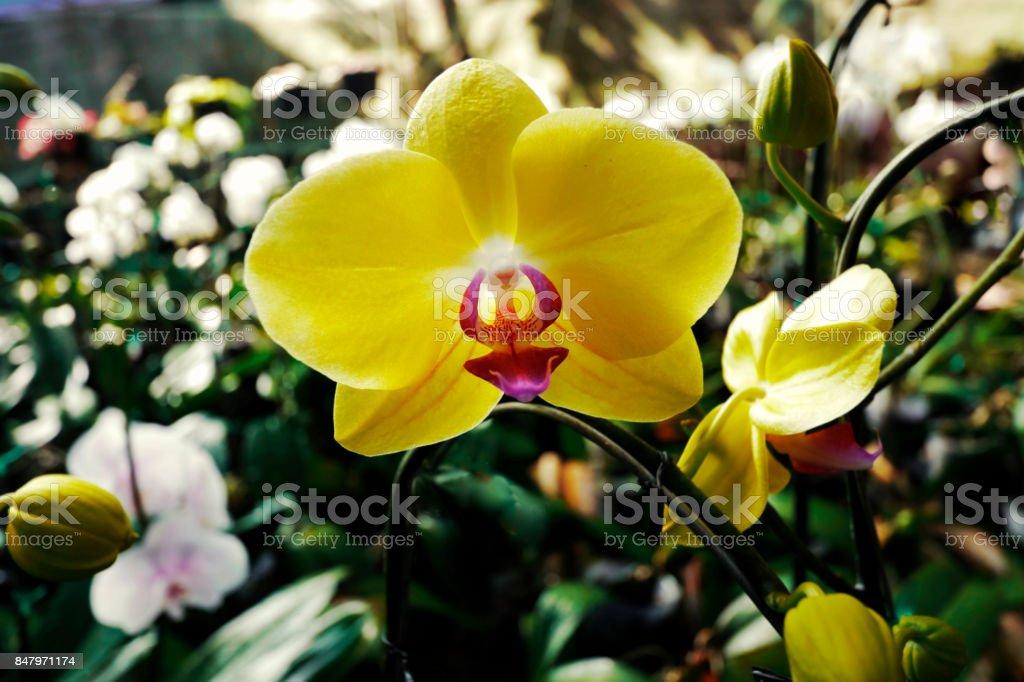 Beautiful yellow Phalaenopsis orchids stock photo