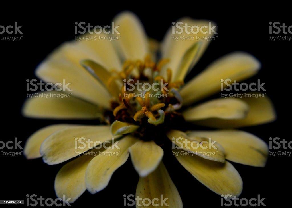 スリランカの家の庭で見られた美しい黄色、赤い色百日草花 - まぶしいのロイヤリティフリーストックフォト
