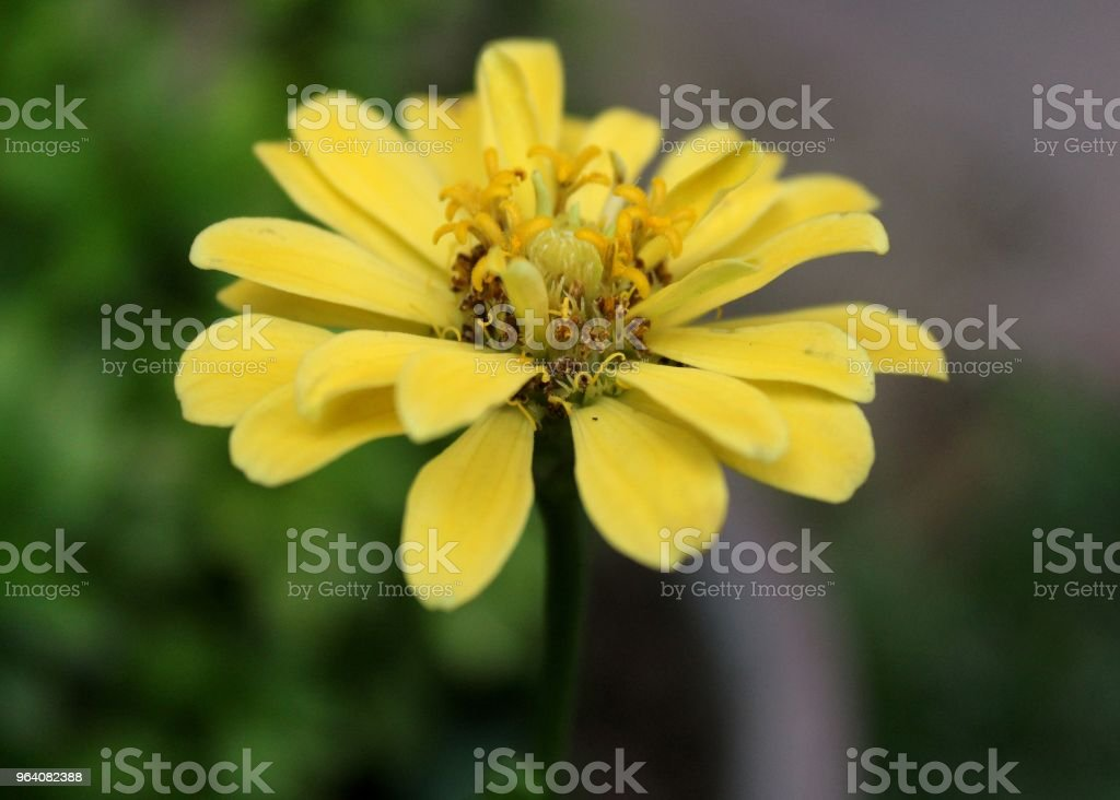 beautiful yellow, red color zinnia flowers seen in a home garden in sri lanka - Royalty-free Beauty Stock Photo
