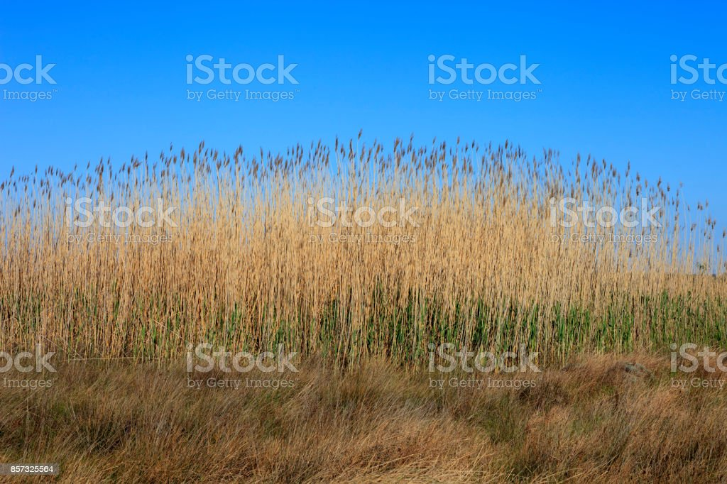 Beautiful Yellow Reeds stock photo
